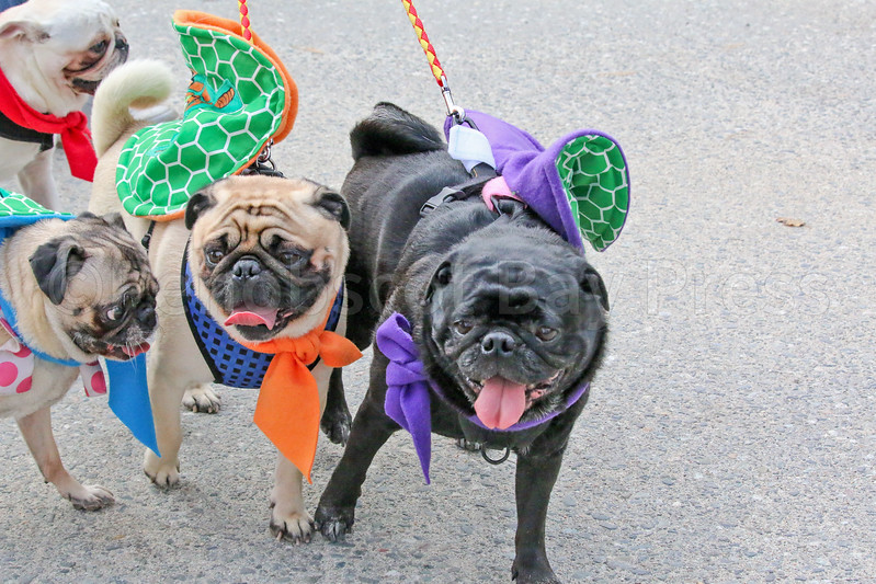 WP_pug_parade_Ninja_Turtles_101917_ML