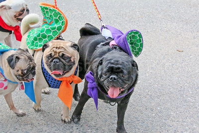 WP_pug_parade_Ninja_Turtles_101917_ML