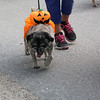 WP_pug_parade_pumpkin_101917_ML