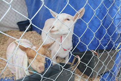WP_BHF_agriculture_goats_090717_ML