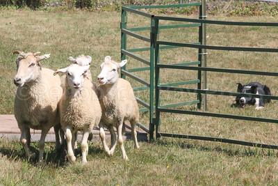 BHF_animal_action_sheepdog_3_090717_AB