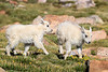 Mountain Goat Calves Playing-1459