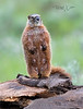 Yellow-bellied Marmot Female Upright-4175