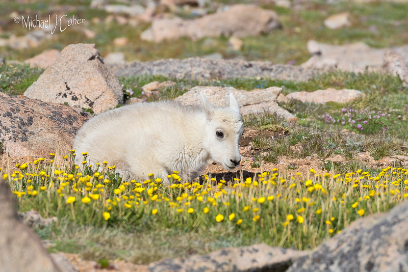 Mountain Goat Calf in Flowers-1665
