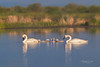 Trumpeter Swan Family-8993