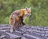 Red Fox Mom and Pup-2068