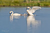 Trumpeter Swan Family-9591