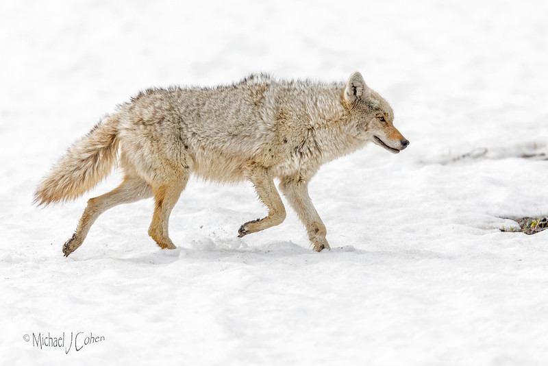 Old Coyote on Snow-5860
