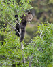 Grizzly Cub with Leaf in Sapling-4521