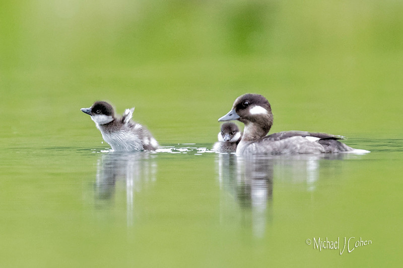Ambition!  Bufflehead-6038