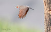 Northern Flicker Male Leaving Nest-3451