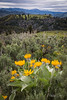 Balsamroot in the Tetons-3136