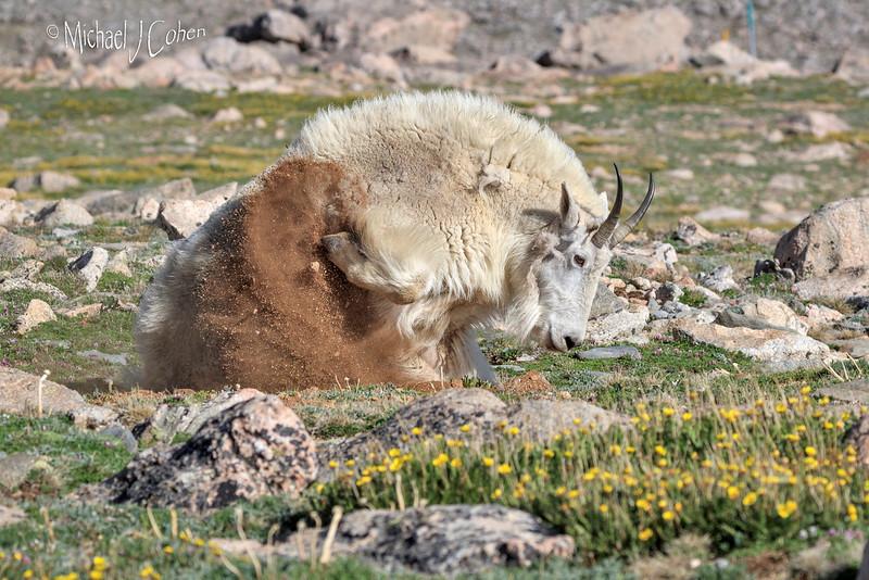 Mountain Goat Kicking Dirt-1884