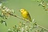 Yellow Warbler-6380