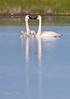 Trumpeter Swan Family-9896