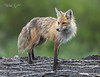 Red Fox Portrait-5107