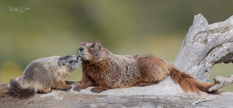 Yellow-bellied Marmot Mom and Pup-