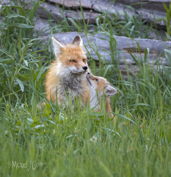 Red Fox Mom and Pup in the Grass-2144