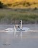 Trumpeter Swan Head Shake-6905