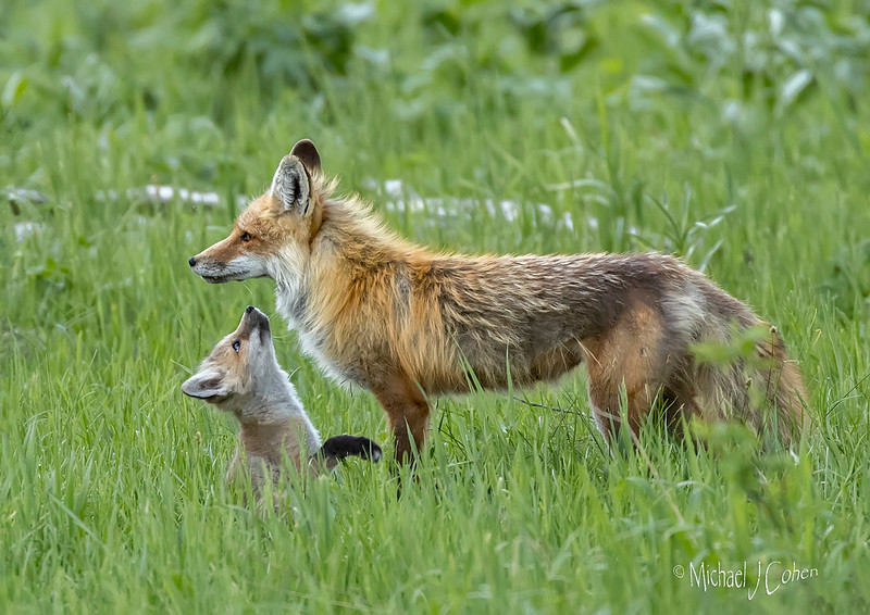 Red Fox Mom and Pup Profile-2525