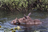Moose and Calf Swimming-5558