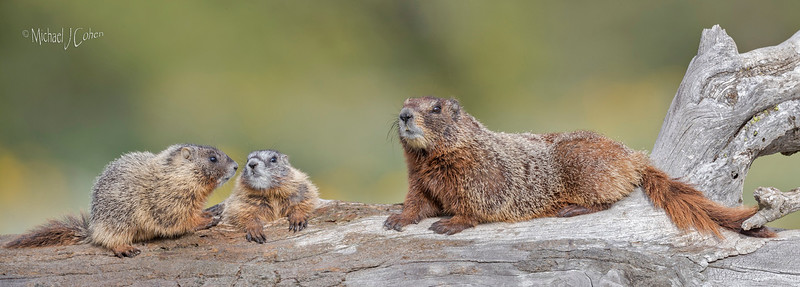 Yellow-bellied Marmot Mom and Pups-