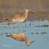 Willet Reflection-1886