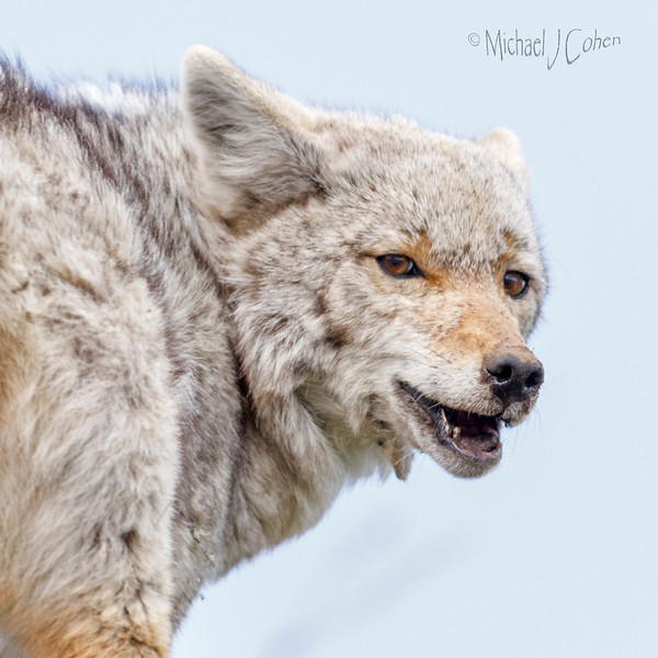 Coyote checking me out!-5924