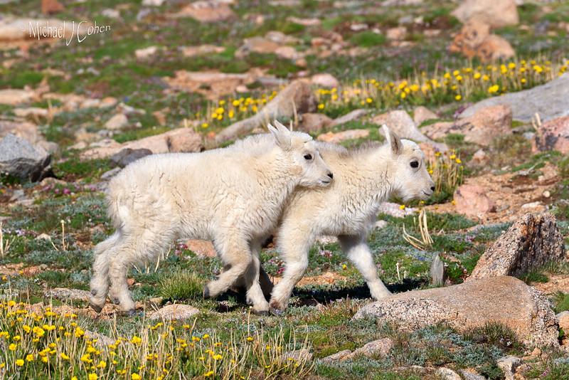 Mountain Goat Calves-1689