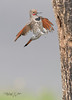 Northern Flicker Male Landing-3551