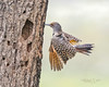 Northern Flicker Wings Down Approach to Nest-3173