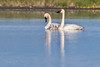 Trumpeter Swan Family-9881
