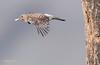 Northern Flicker Male Leaving Nest-3450