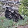 Nursing, Black Bears-3231