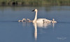 Trumpeter Swan Family-9094
