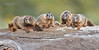 Yellow-bellied Marmot Family-4423
