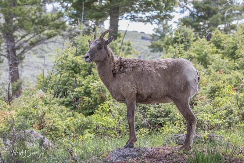 Bighorn Sheep-3308