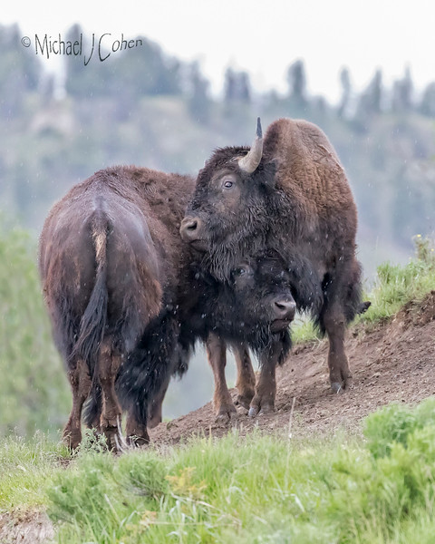 Bison Necking-2
