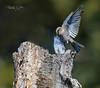 Mountain Bluebird Aggression -5155