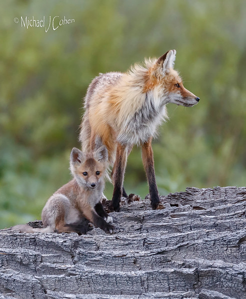 Red Fox Mom and Pup on Log-2399