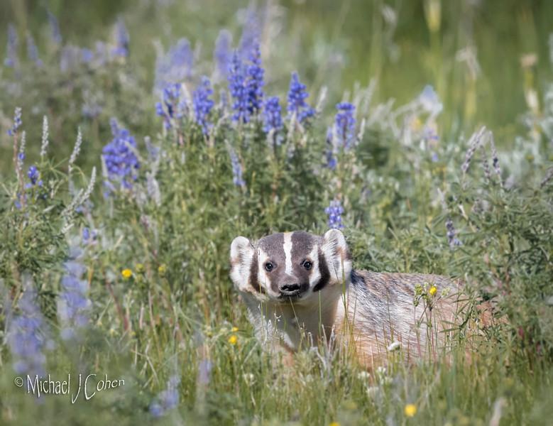 Badger in Flowers-6354