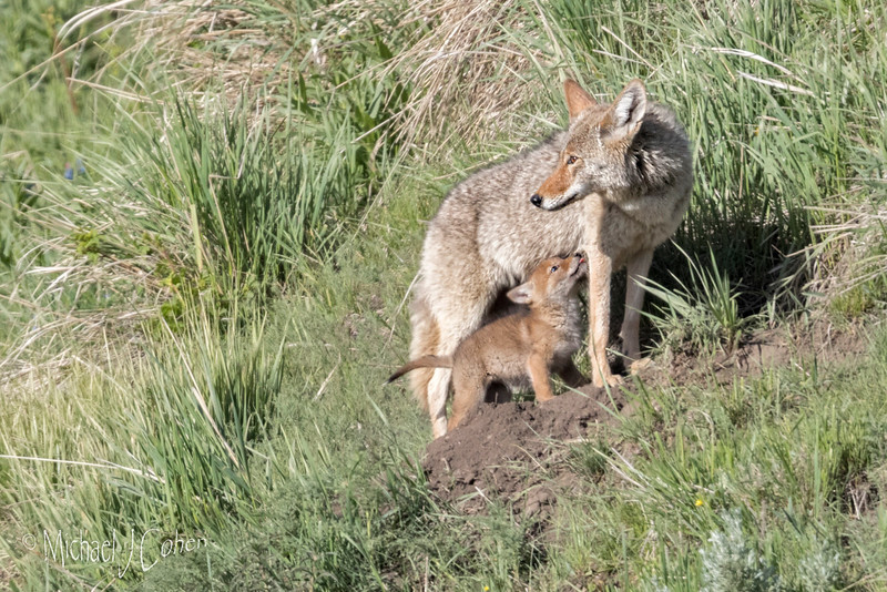 Coyote Mom and Pup-1698