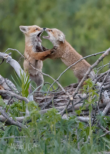 Red Fox Pups Playing-2885