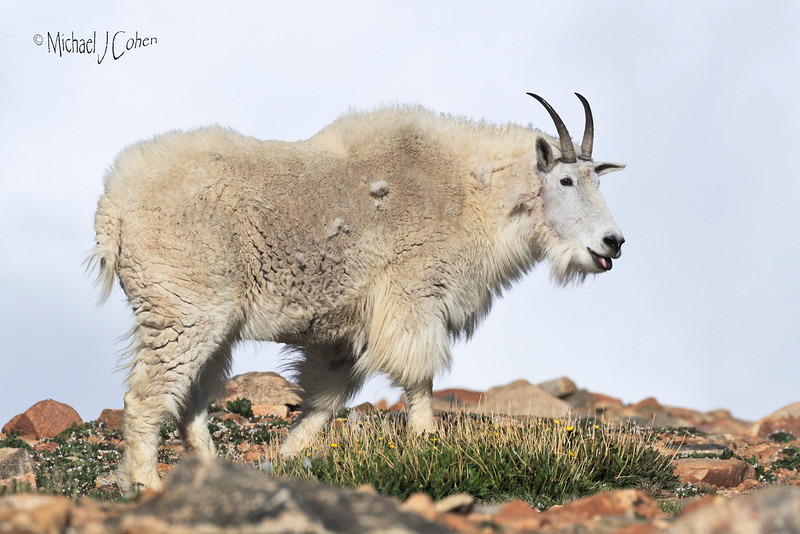Mountain Goat Sky Background-1859