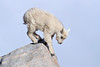Mountain Goat Calf on Rock-2053