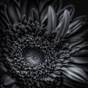 flower in monochrome