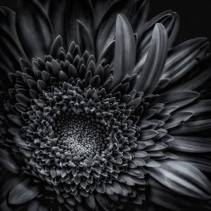 flower in monochrome