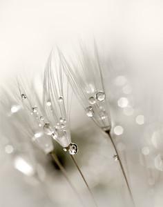 dandelion fluff & dew drops
