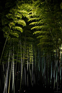 Bamboo grove at Kodai-ji, Kyoto.