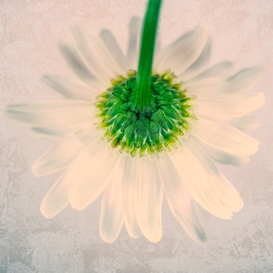 Shasta Daisy Bottom